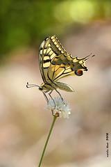 (Enllasez - Enric LLaó) Tags: papallones papallona mariposas insectos insectes 2018 santmateu