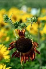 sunflower_072918_08 (Linda Moll Walker) Tags: sunflowers elverson pa summer