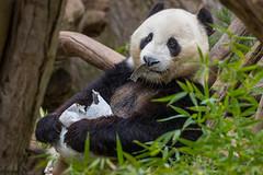 Mr. Wu's 6th Birthday (San Diego Zoo Global) Tags: panda pandas birthday party cute animals animal sandiego sandiegozoo enrichment birthdayparty happybirthday conservation wildlifeconservancy giantpanda giantpandas mrwu xiaoliwu