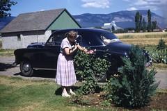 On the farm with a kitten (sctatepdx) Tags: kodachrome kodachromeslide vintagecar oldcar farm vintagefarm roses pinkroses vintagekitten 1950s kodachromeredborderslide