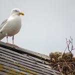 Herring-gull nest, 2018 Jun 08 -- photo 6 thumbnail