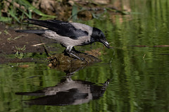 Hooded crow (Jens Hyldstrup Larsen) Tags: gråkrage hoodedcrow corvuscornix passeriformes spurvefugle corvidae kragefugle