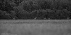 Team Meldinės Nendrinukės 2018 (_alcedo_) Tags: 4eagles 4ereliai alcedowildlife birdofprey birdidlithuania2018 birds borisbelchev customtours guidedtours iceland landscape lithuania mrjangear nature nemunasdelta nemunodeltarp raptor animals biodiversity birdingpallithuania birdwatchinglithuania breeder europe flight floatinghidephotography gamtosgidas hidephotography migrant paukščiųstebėjimas spring wintering workshop wwwalcedowildlifecom