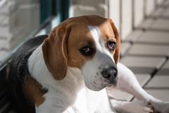 Basking in the Morning Sun (- Jan van Dijk -) Tags: beagle hond chien hund perro winter lodger