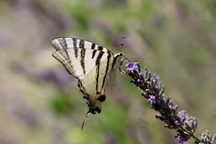 Le Flambé (Nature Box) Tags: flambé canon macro proxi papillon lépidoptère lavande iphiclidespodalirius scarceswallowtail podalirio segelfalter 70d 100mm été summer 2018 mariposa farfalla butterfly borboleta lavender img5838