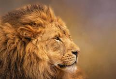 Male Lion (Sandyp.com) Tags: oaklandzoo lion wildlife cat malelion sonyrx10iv topazsoftware texturedbackground