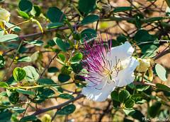 Caper Bush (tinlight7) Tags: caper bush shrub flowers tarsus turkey mediterranean white purple