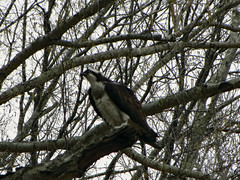 Osprey In A Tree. (dccradio) Tags: lumberton nc northcarolina robesoncounty outdoor outdoors outside nature natural bird birdofprey osprey wild wildanimal lutherbrittpark park citypark overcast cloudy greysky graysky largebird perched branch branches tree treelimb treelimbs spring springtime feathers winged saturday saturdayafternoon woods wooded canon powershot elph 520hs