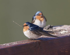This is a stick up!! (archie0) Tags: swallows stick behavior dof