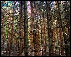 Woods outside of Millbrook, Ontario (Sally E J Hunter) Tags: millbrook cavan monaghan ontario canada forest woods trees pines peterboroughcounty cavanmillbrooknorthmonaghan