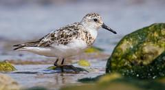 Sanderling (7 of 8) (ianrobertcole1971) Tags: sanderling wader bird seabird beach nikon