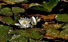 Blumen und Blüten, Seerosen ,  76482/10497 (roba66) Tags: blumen blüten fleur flori flor flora flores bloem plants pflanzen colores color colour coleur roba66 nature natur naturalezza seerose