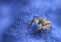 Blue Whisper (dianne_stankiewicz) Tags: mesh terrain hmm macromondays spider jumpingspider blue whisper