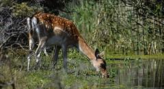 Fallow Deer drinking water. (moniquedoon) Tags: deer deerlover deers fallowdeer wildlifeohotography wildlifephoto wildlifewatch natuuurfotografie