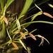 [Irian Jaya, New Guinea, Indonesia] Bulbophyllum scaphioglossum J.J.Verm. & Rysy, Orchidee (Hamburg) 65: 142 (2014)