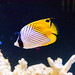 Threadfin butterflyfish (Chaetodon auriga) of Enoshima Aquarium, Fujisawa : トゲチョウチョウウオ(新江ノ島水族館)