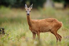 Roe deer (- Alex Witt -) Tags: