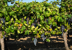 fertile (Lisa Ouellette) Tags: vineyard babywine grapes lodi vines