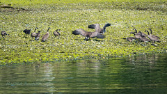 The Hatfields and McCoys (ausmc_1) Tags: 2018 birds july canada waterfront britishcolumbia vancouverisland canadageese somassriver nikkor2oo500f56vr portalberni d800 canadageesebrantacanadensis water outdoor wildlife