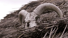 Warning or welcome (Englepip) Tags: skull thatch roof ram skeleton