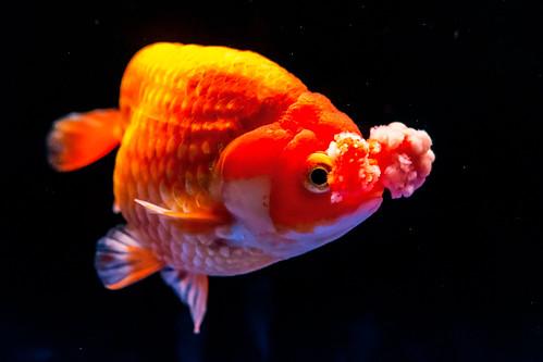 Hanabusa (Goldfish)  of Sumida Aquarium in Tokyo Sky Tree Town : ハナフサ(花房 東京スカイツリータウン・すみだ水族館)