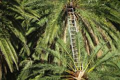 Risky Business (coastwalker) Tags: lagomera leiter palmen vallegranrey ladder palms coastwalker green