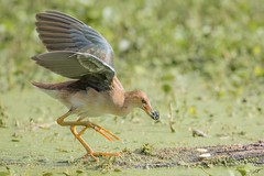 Food Maybe (gseloff) Tags: purplegallinule bird juvenile feeding duckweed animal wildlife nature water brazosbendstatepark texas gseloff