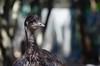 An emu (Dromaius novaehollandiae) at the Parc zoologique de Montpellier, France