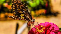 POLINIZANDO_MONTES_NAIRUCO_NAMPULA_MOÇAMBIQUE (paulomarquesfotografia) Tags: paulo marques sony hx400v borboleta butterfly flores flor flowers flower bokeh desfoque céu sky cores colors macro close up montes nairuco nampula moçambique mozambique