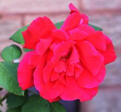 DSC_0742 (PeaTJay) Tags: nikond750 sigma reading lowerearley berkshire macro micro closeups gardens outdoors nature flora fauna plants flowers rose roses rosebuds