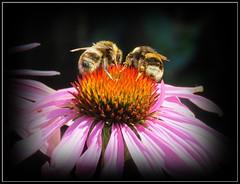 Buzzy Bees (Deida 1) Tags: bees enchinacea cone flower garden uk wildlife staffordshire