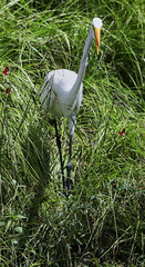 08-12-18-0031274 (Lake Worth) Tags: animal animals bird birds birdwatcher everglades southflorida feathers florida nature outdoor outdoors waterbirds wetlands wildlife wings