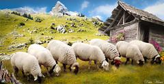 1,2,3,4,5,6 et 7 (Didier HEROUX) Tags: sept moutons animaux montagnes mountains alpes alps alpen alpi paysage landscape flickr mai 2018 didierheroux didier herouxdidier balade rando randonnée france french photography laine abri sommet annecy région alpesdunord auvergnerhonealpes printemps spring nature un deux trois quatre cinq six doucefrance