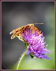 Comme une ombrelle ! (watbled05) Tags: macro fleur papillon bokeh extérieur