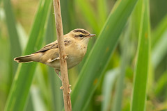 sedge warbler - acrocephalus schoenobaenus (carlanthonytaylor) Tags: bird birds birding birdwatching wildlife wild nature ngc natural doxeymarshes staffordshire canon