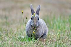 DSC_6007 rabbit (eyegoo) Tags: rabbit bunny weeds