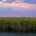 Purple Everglades