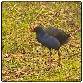 Birds at Kennington Reservoir - Purple Swamp Hen