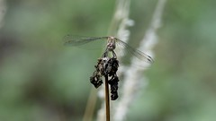 NEW7642 (davefieldson) Tags: dragonfly outside outdoor wildlife nature