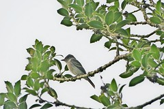 Willow Flycatcher, Snoqualmie Valley, WA 8/15/18 (LJHankandKaren) Tags: sikeslake snoqualmievalley flycatcher willowflycatcher