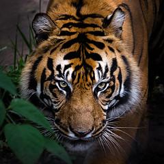 Tiger Redux - Luminar2018 (KWPashuk) Tags: nikon d7200 tamron tamron18400mm lightroom luminar luminar2018 kwpashuk kevinpashuk tiger wildlife zoo animal toronto torontozoo ontario canada outdoors cat bigcat