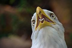 Think Like an Eagle (MTSOfan) Tags: eagle raptor baldeagle tilt tongue bird