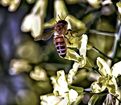 Bee (Dennisbon) Tags: dennisbon canon eos 7d melbourne australia bee outdoor flower honey nopeople