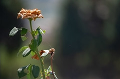 Morte (c#giorno) Tags: natura rosa fiore fiori ragnatele nature rose flower flowers