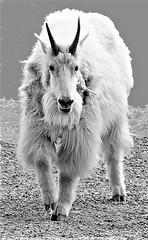 PASSENGER SEAT IMAGERY (5) (Rob Patzke) Tags: goat mountain car road nature panasonic lumix lx100 wool beard shaggy portrait horns white hooves nose eyes bw monochrome
