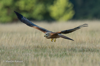Red Kite (Explored 23/08/2018)