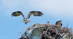 Balbuzard pêcheur // Osprey (Alexandre Légaré) Tags: balbuzardpêcheur osprey pandionhaliaetus oiseau bird animal wildlife nature d7500 nikon