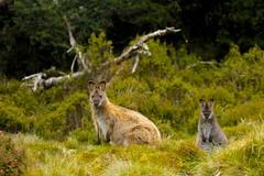 Bennett's Wallaby (Caleb McElrea) Tags: cradlemountain cradlemountainlakestclairnationalpark southwestwildernessworldheritagearea unesco tasmania australia bennettswallaby macropusrufogriseus macropod