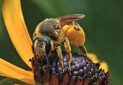 Pollen, Baby...It's All About Pollen (Vidterry) Tags: bee bumblebee blackeyedsusan rudbeckia pollen
