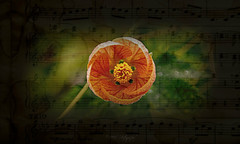 Serenade (Rollingstone1) Tags: summer serenade serenatadeverano song flower music art artwork pattern serenata colour texture notes